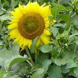 Sonnenblume Paccino