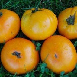 Fleischtomate Orange Bulgarische