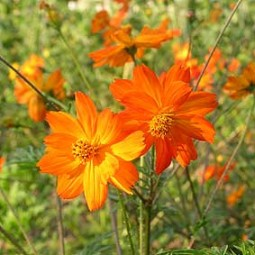 Cosmea orange, Schwefelcosmea