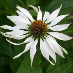 Weiße Echinacea Albina