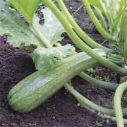 Zucchini Alberello di Sarzana