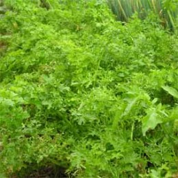 Asiasalat Feathergreen