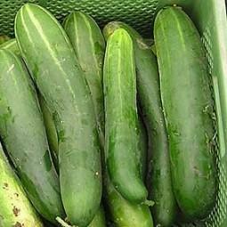 Salatgurke Sensation