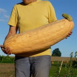 Riesenkürbis Pink Jumbo Banana