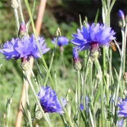 Kornblume, blau