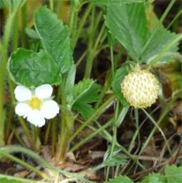 Monatserdbeere Weiße Erdbeere