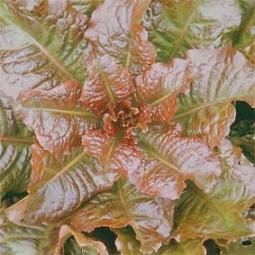 Schnittsalat Redbone