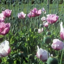 Ziermohn Simply Pink