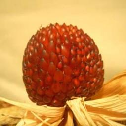 Roter Zier-Popp-Mais Erdbeermais