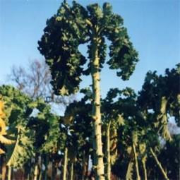 Grünkohl Ostfriesische Palme