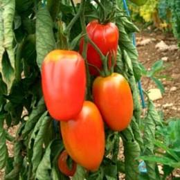 Salattomate Rote Zora