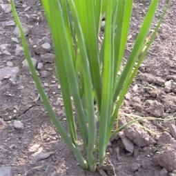 Lauchzwiebel Long White (Lange Weiße)