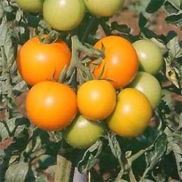 Salattomate Orange Favourite