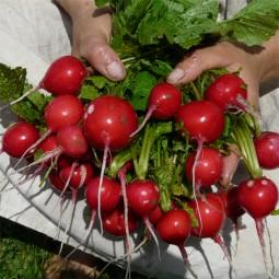 Radieschen Cherry Belle
