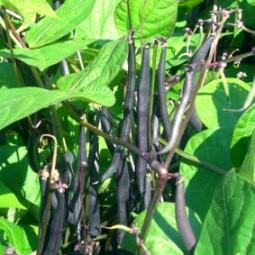 Buschbohne Purple Teepee