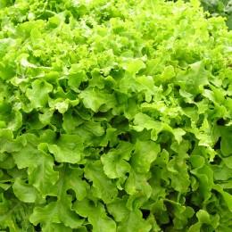 Schnittsalat Salad Bowl