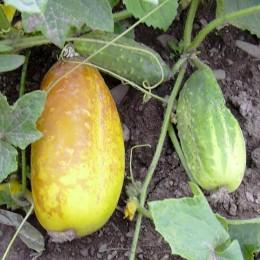 Einlegegurke National Pickling