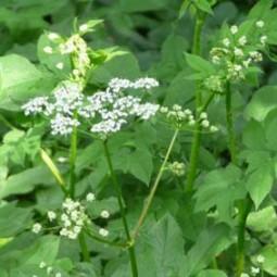 Aromatischer Kälberkropf