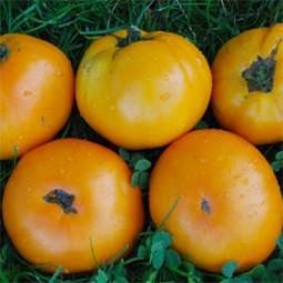 Fleischtomate Orange Bulgarische