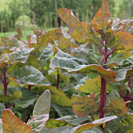 Gartenmelde Rot gestreift