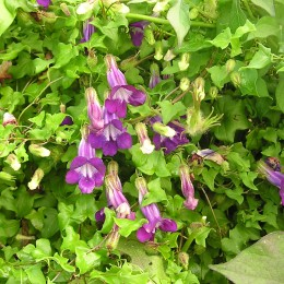 Kletterlöwenmäulchen violett