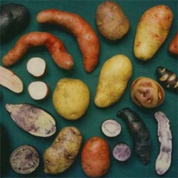 Kartoffel-Saatgut