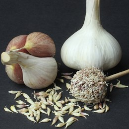 Knoblauch German White