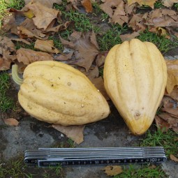 Gartenkürbis Thelma Sanders Sweet Potato
