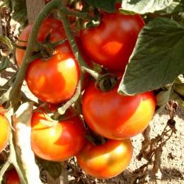 Salattomate Hellfrucht