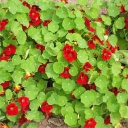 Kapuzinerkresse Rote, vorwiegend buschig