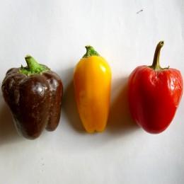 Paprika Bunte Zwerge