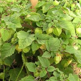 Ananaskirsche, Süße Erdkirsche Annalisa