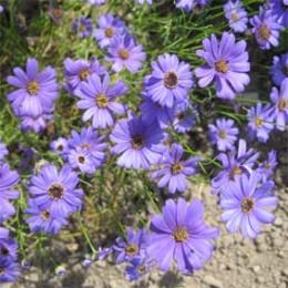 Blausternchen (Blaues Gänseblümchen)