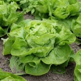 Kopfsalat Lettuce cabbage