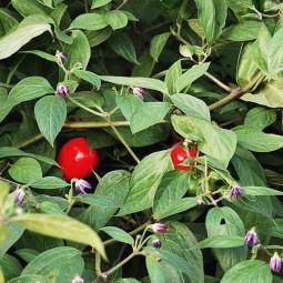 Paprika Rocoto manzano, rot-gelb