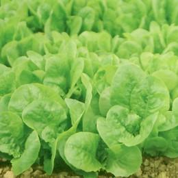 Schnittsalat Witte Dunsel (Gelber Runder)