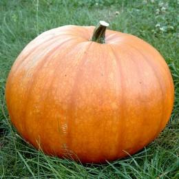 Gartenkürbis Halloween-Kürbis