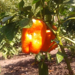 Paprika Orange Bell