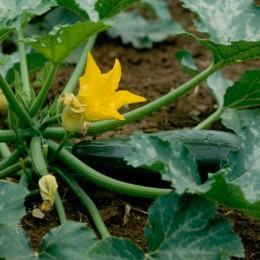 Zucchini Zuboda