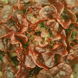 Eichblattsalat Bolchoï