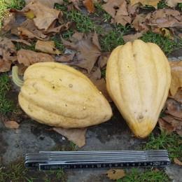 Gartenkürbis Thelma Sanders' Sweet Potato