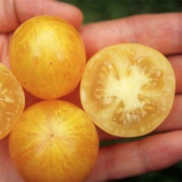 Buschtomate Tigerette Cherry