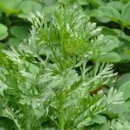 Speisechrysantheme Shungi Ku