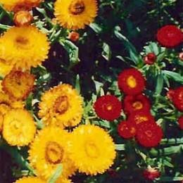Strohblumen Trocknen strohblume niedrige ca 50 cm hoch strohblume einjährig