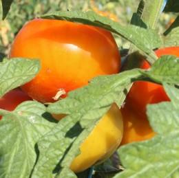 Salattomate Anamar