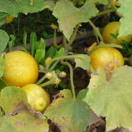 Salatgurke Lemon (Zitronengurke)