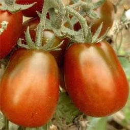 Salattomate Black Plum (Schwarze Pflaume)
