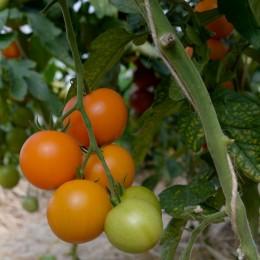 Salattomate Pernau Orange