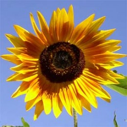Sonnenblume Mischung
