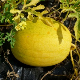 Wassermelone Golden Midget